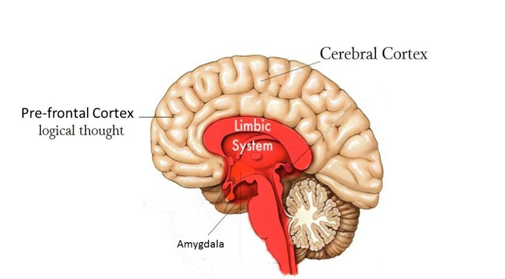 how the cerebral cortex subserves psychological The cerebral cortex, or neocortex, in the human brain includes motor, sensory, and visual maps and areas for language, executive functions, emotional processing, attention, and working memory.